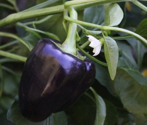 Purple bell pepper and flower