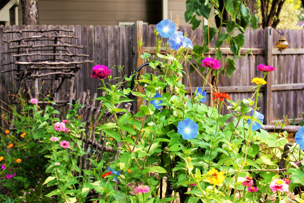 Giant Zinnias and Morning Glory Heavenly Blue with Grandpa Ott peeking through.