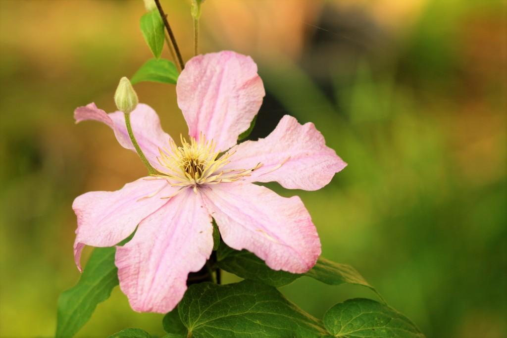 clematis pink closeup