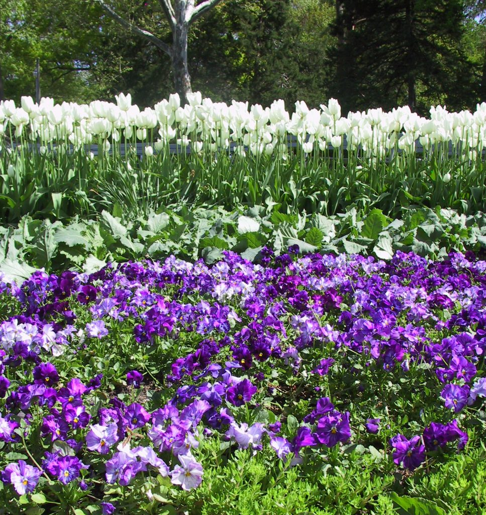 Purple pansies and white tulips